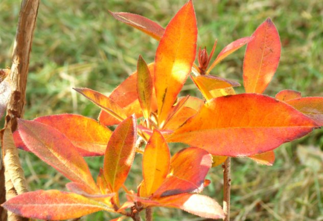 azalea leaves 290406