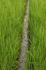 rice paddy reflections