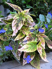 Coleus Seen on My Way to Work