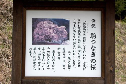 駒つなぎの桜3