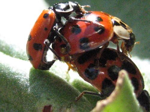 Lady bugs having sex