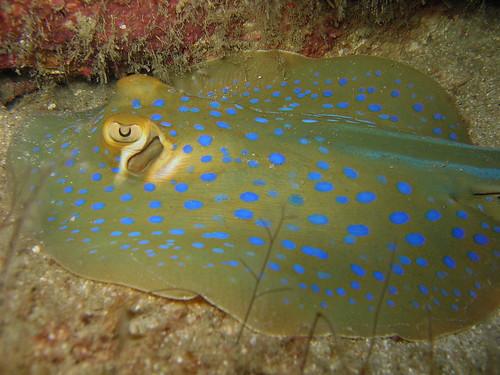Blue Spotted Stingray (Taeniura Lymma)