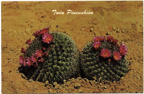 Postcard: Pincushion Cactus Flowers