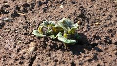 ジャガイモの芽が…
