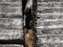 ant_1