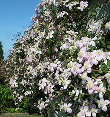 clematis blooming