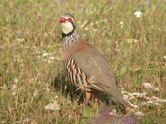 Red-legged Partridge, Pancas (Portugal), 19-Apr-06