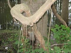 Aereal Roots.JPG