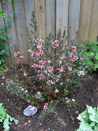 Sarah's pink bush