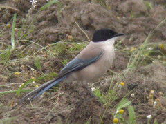 Azure-winged Magpie, E of Mourão (Spain), 22-Apr-06
