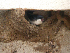 House Martin, Elvas (Portugal), 23-Apr-06