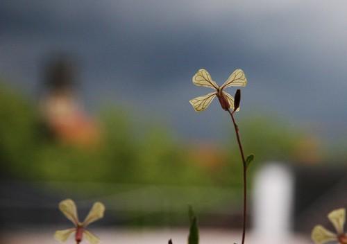 Tempête vue par les fleurs de mon balcon