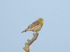 Serin, Elvas (Portugal), 24-Apr-06