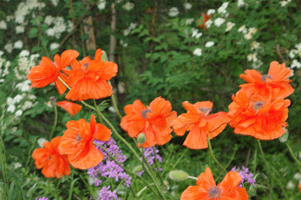 johns poppies