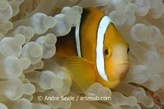Peixe-palhacoendemico, Amphiprion tricinctus