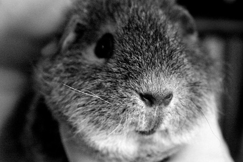 Eevi the guinea pig