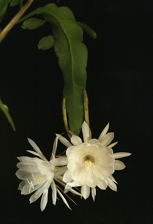 night-blooming cereus, one night beauty .
