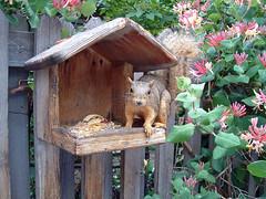honeysuckle squirrel
