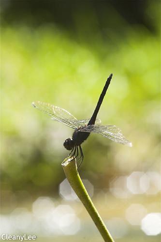 13019樂仙蜻蜓 Trithemis festiva
