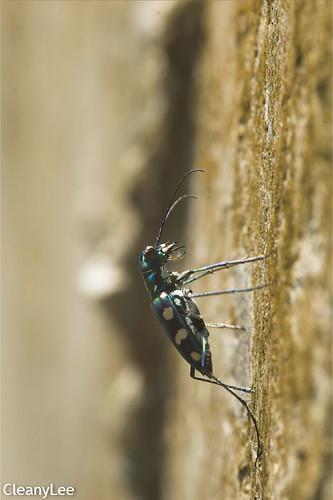 13068八星虎甲蟲