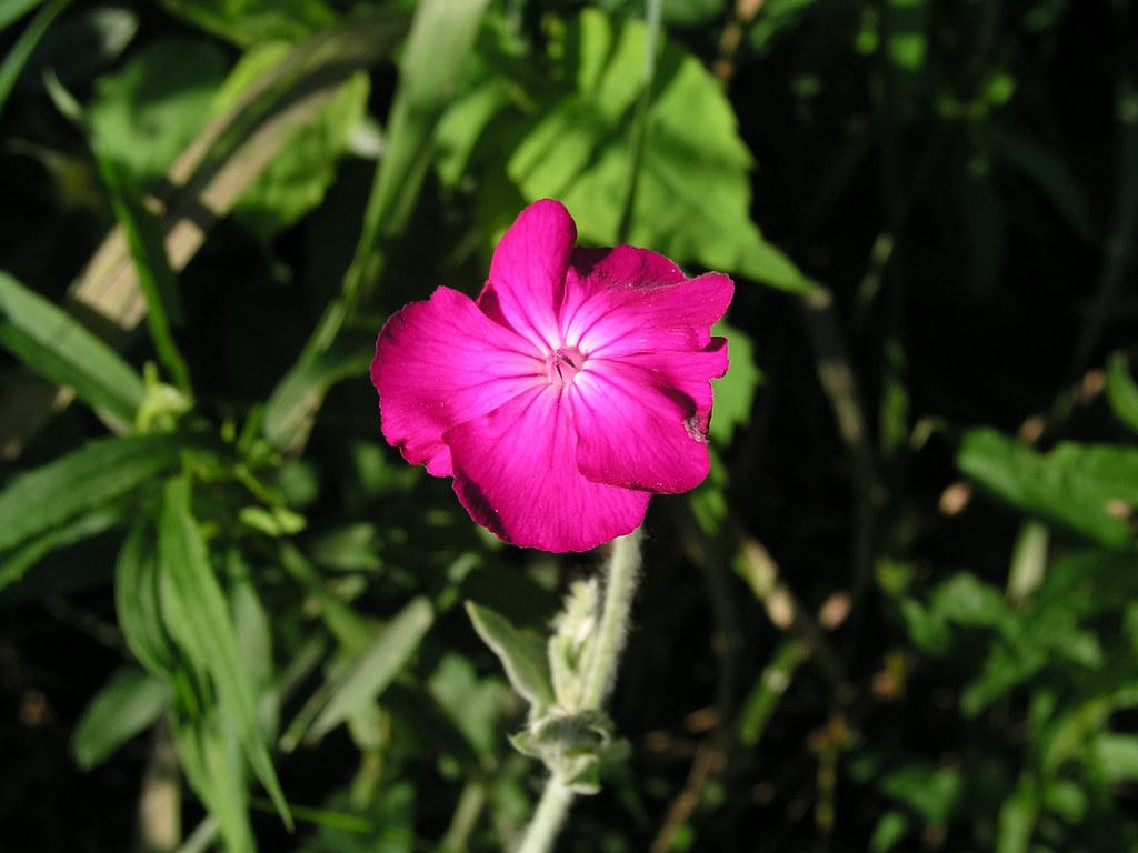 062706pink_flower