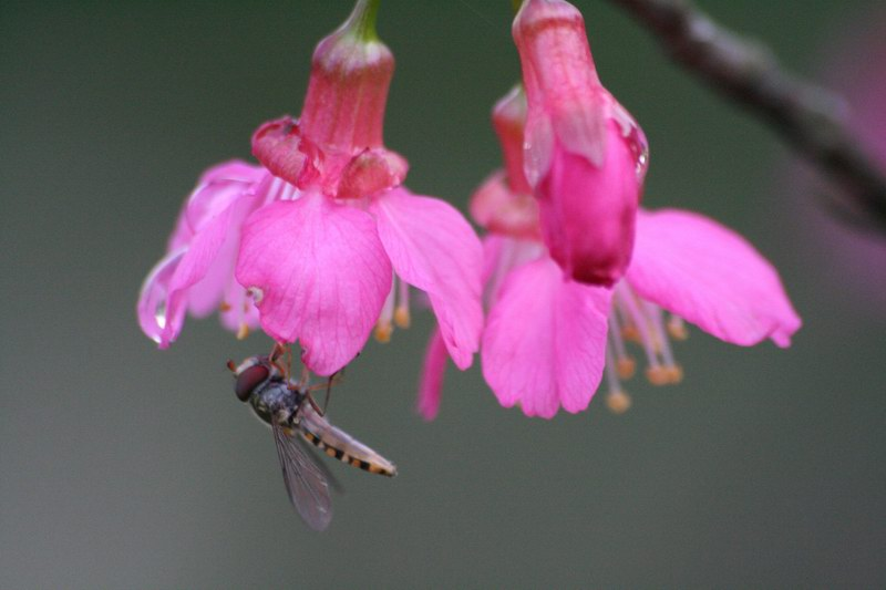 白櫻花和蠅的特寫