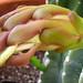 Cereus (3216A)