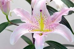 lily francia