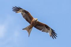 """Red Kite """"Milvus milvus"""" 2 photo by DoctorTimbo"""