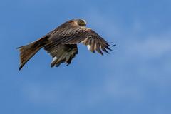 """Red Kite """"Milvus milvus"""" photo by DoctorTimbo"""