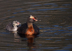 Horned Grebe photo by Kirchmeier
