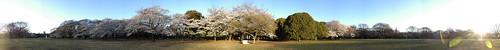 Cherry Blossom - Panorama 2