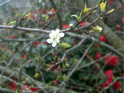 fleurs du mirabellier