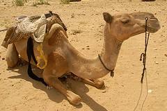 My Camel, Jaisalmer, Rajasthan, India Captured April 12, 2006.