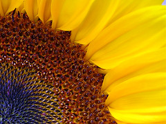 Rising Sun Flower photo by A. Saleh