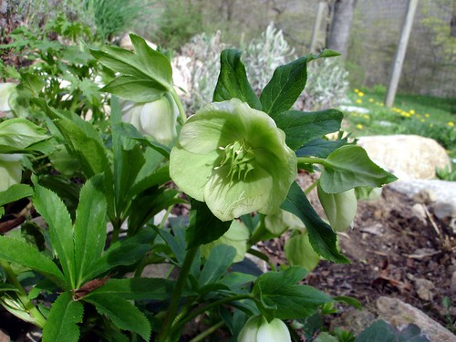 Helleborus Bloom