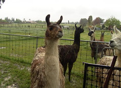 there's some llamas