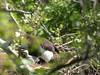Bald Eagles nesting on the Elk River, MO