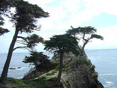 Lone Cypress from Platform