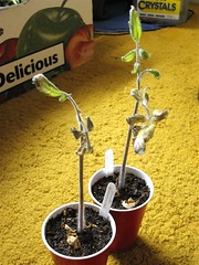 Sad Looking Tomato Seedlings (Before Cutting)