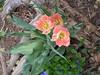 peach tulip