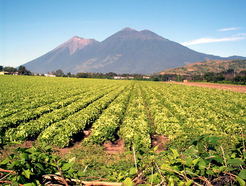 Lettuce & vegetable field on Volcanic soil