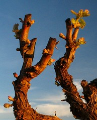 Budbreak in Ribera del Duero