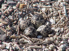 killdeer eggs1
