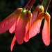 Red Maple Fruit (Samara)