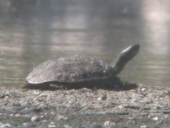 Turtle, Montenegro ETAR Waterworks (Portugal), 15-Apr-06