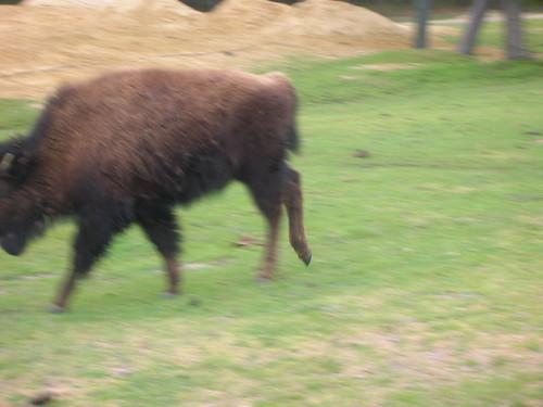 bison reenacting u2 video