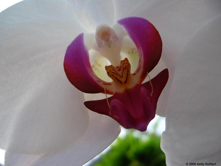IMG_2733 - White-Purple Orchid