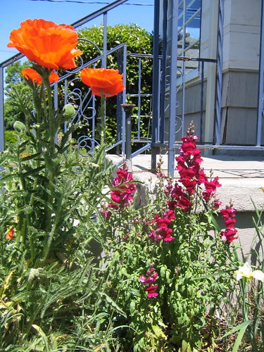 Poppies and Snapdragons