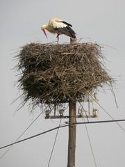 White Stork, Mértola - Castro Verde (Portugal), 24-Apr-06